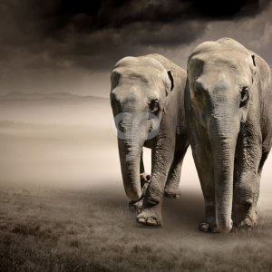 puresolution-pair of elephants in motion-20