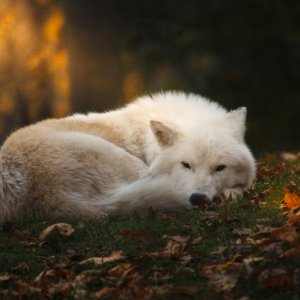 rgbe-arctic wolf sleeping in the forest-25