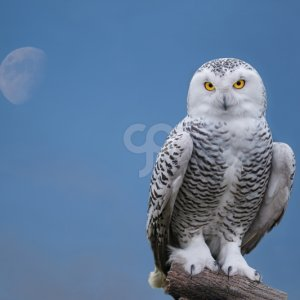 rgbe-snow owl portrait with moon-25