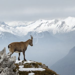 rick deacon-a wild mountain goat standing on the edge of a cliff-20