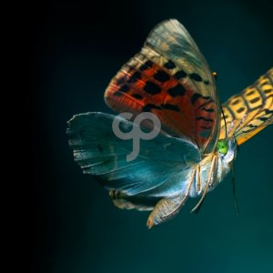 roberto anguita-butterfly flying on dark background-25