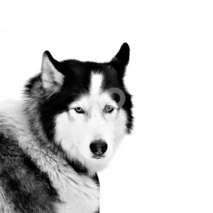 seagull j-portrait of sled dogs isolated on white. northern huskie-20