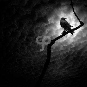 sipaphoto-a raven on a barren branch in death valley california-20