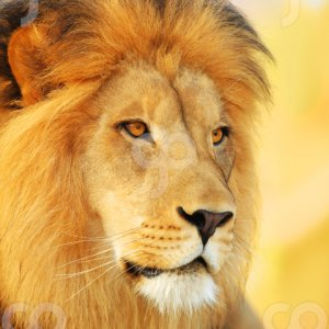 spaceheater-portrait of a male african lion at sunset-25