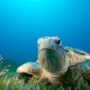 stephankerkhofs-green turtle and sea grass taken in the red sea-25