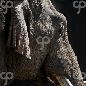 thomas theodore-portrait of a young elephant-25