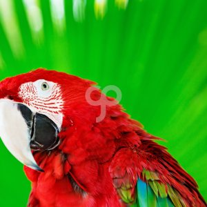 tropical studio-colorful portrait of amazon red macaw parrot against green background-20