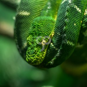 victor moussa-emerald tree boa hanging from a tree branch-25