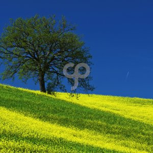 ondrej prosicky-lonely tree on the yellow flower field with clear blue sky tuscany italy-25