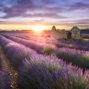 vent du sud-lavender field in provence near valensole france-20